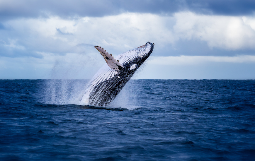 Inspiration - Humpback whale jumping out of the water in Australia. The whale is falling on its back and spraying water in the air