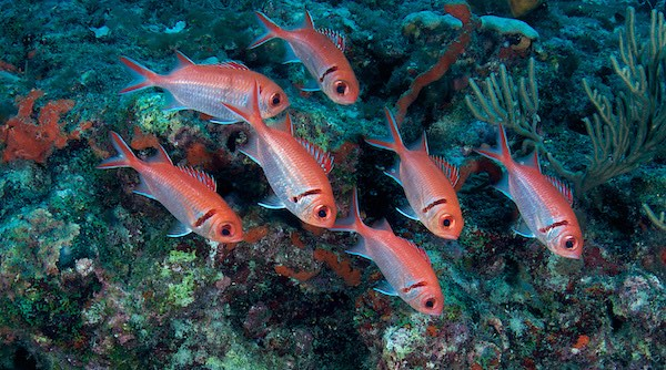 Blackbar Soldierfish hovering in front of a coral reef